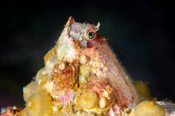 Chilean mussel blenny (Hypsoblennius sordidus). One of th... by Thomas Heran